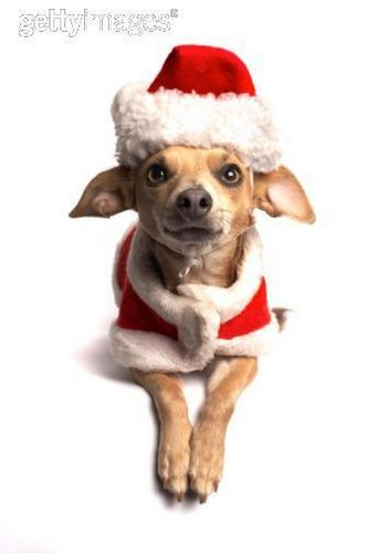 All Small Dogs wallpaper entitled Merry Christmas