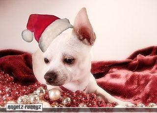 All Small Dogs wallpaper containing a chihuahua called Merry Christmas
