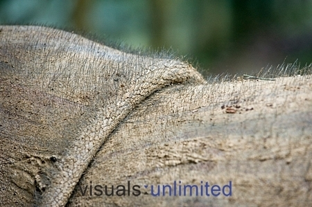 Rhinos wallpaper entitled Sumatran Rhino Hair