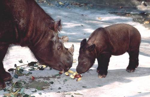 Sumatran Rhino and vitello