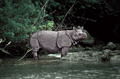 The Javan Rhino - rhinos photo