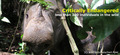 The Sumatran Rhino - rhinos photo