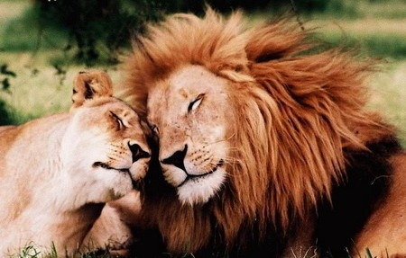 Beautiful Lions in Love