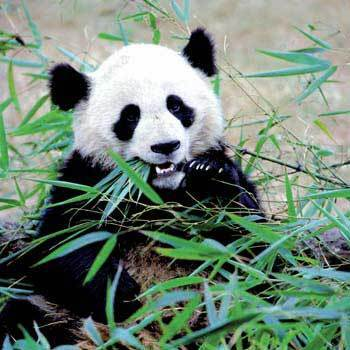 Beautiful Panda Eating
