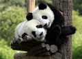 Cute Panda Cubs Together