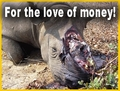 Poached Rhino - For the Love of Money! :'( - rhinos photo