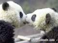 Sweet Panda Cubs Kissing