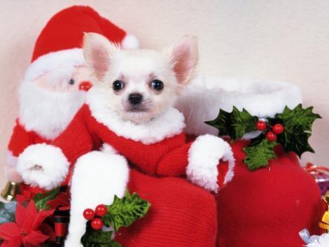 cute xmas puppy