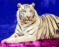 wite tigerbeauty
