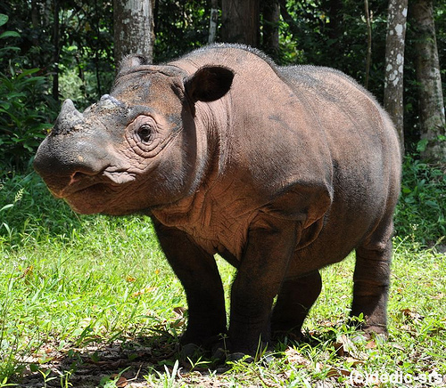 A Beautiful Sumatran Rhino named Ratu - rhinos Photo