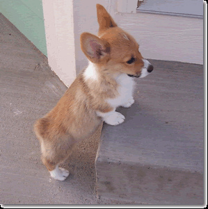 Corgi Puppies on Corgi Puppies   D   Dogs Photo  17924322    Fanpop Fanclubs