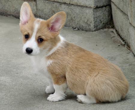 Corgi puppies! :D