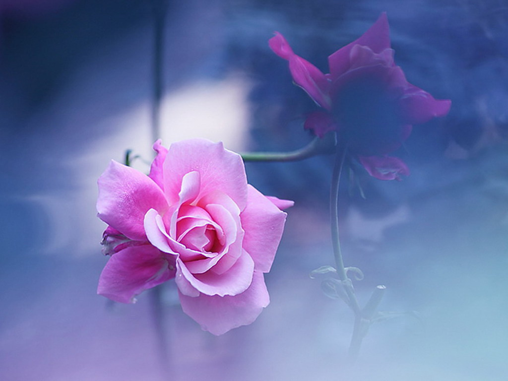 Daydreaming Images Pink Rose HD Wallpaper And Background