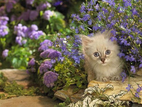 Kitties wallpaper containing a persian cat titled Adorable kitties