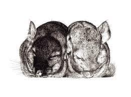 Random Chinchilla Pictures