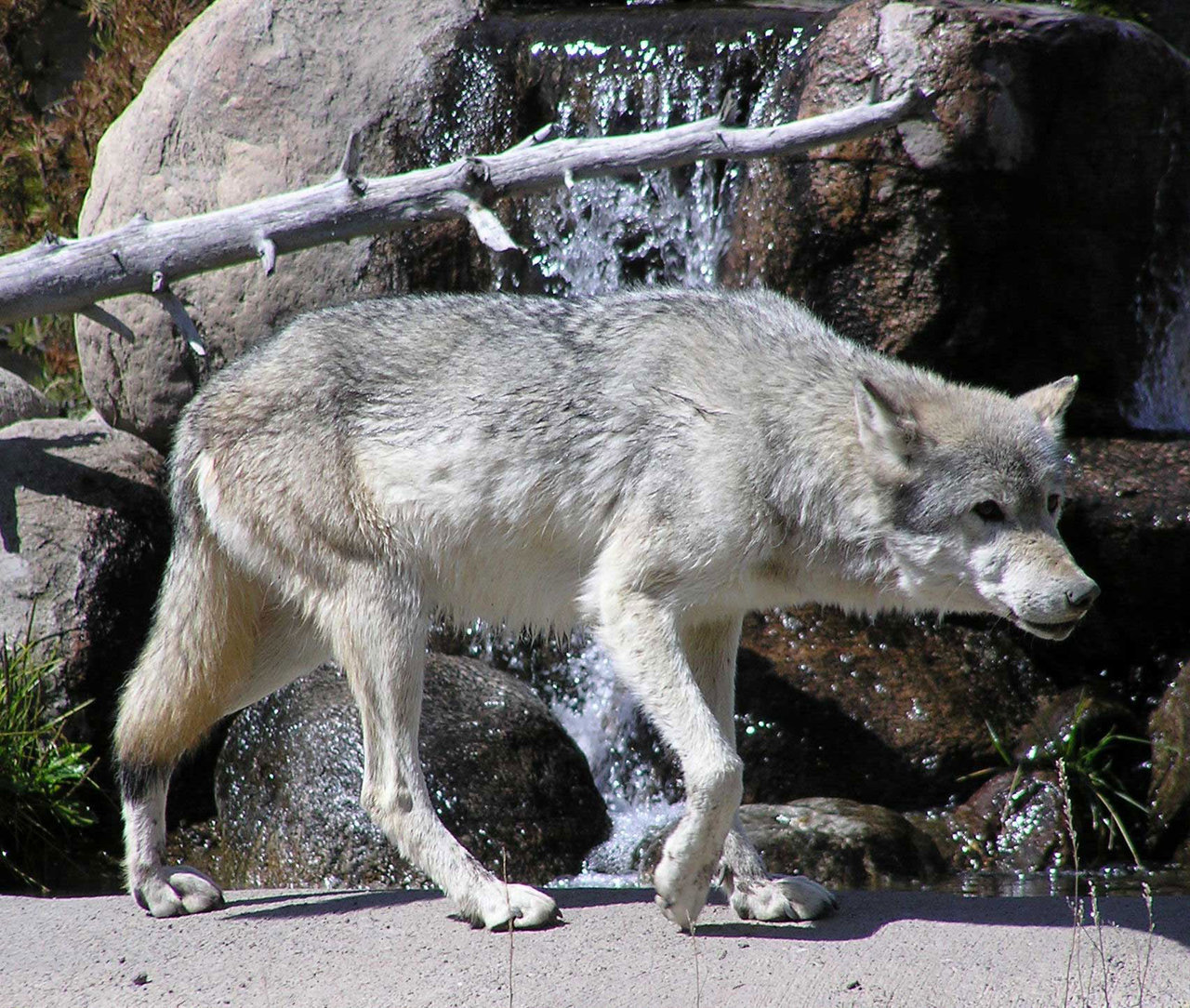 The anubian s wolf pack anubian pack