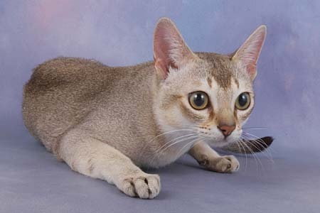Singapura Cat Singapura Cat Breed Photo 18190183