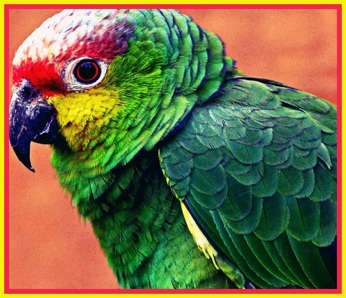Animals wallpaper with an amazon entitled pARROt