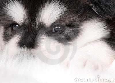 Adorable Anjing