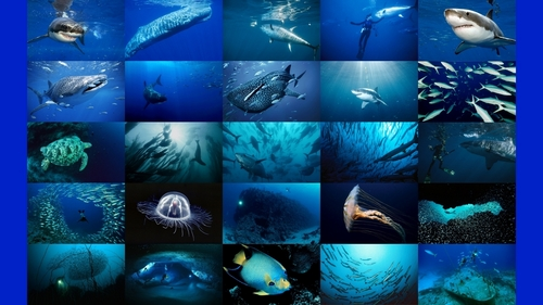 Sea Life wallpaper with a pacific sardine called Shark