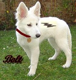 The real bolt disney 39 s bolt photo 18273701 fanpop - Volt chien race ...