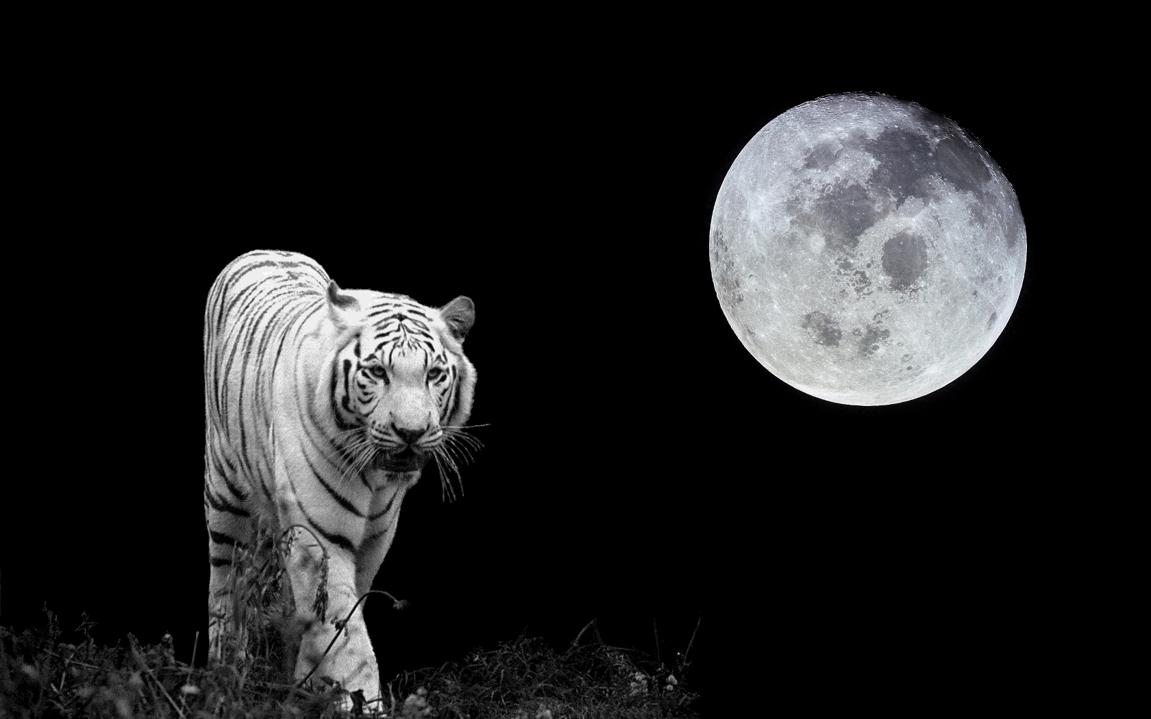 White Tiger Images Moon Hd Wallpaper And Background Photos