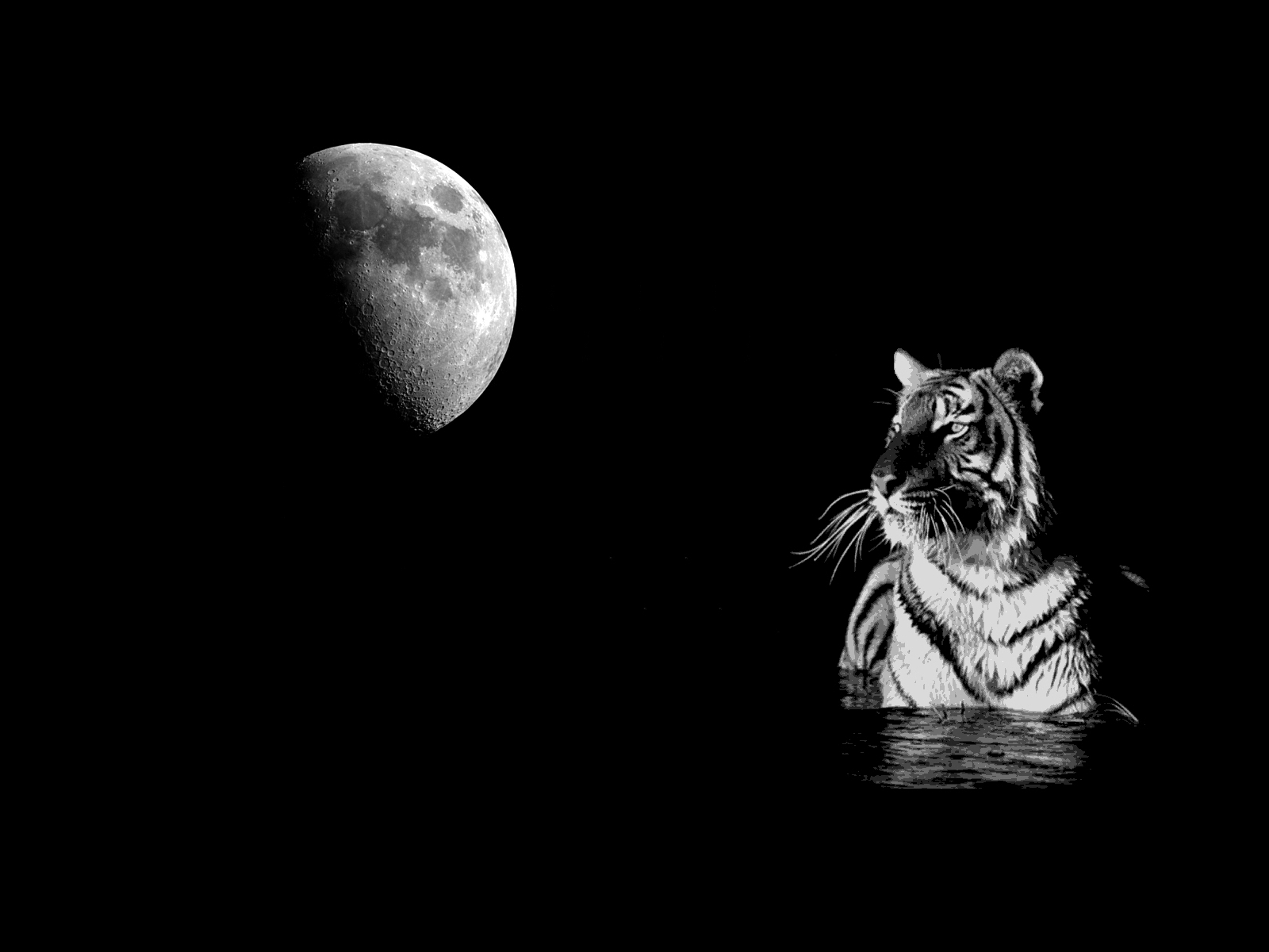 white tiger images tiger moon hd wallpaper and background photos