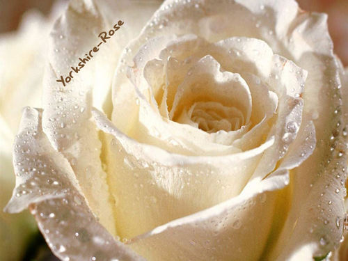 Berni..The rosa blanca de york