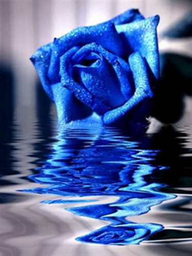 Fantasy images blue rose wallpaper and background photos - What are blue roses called ...