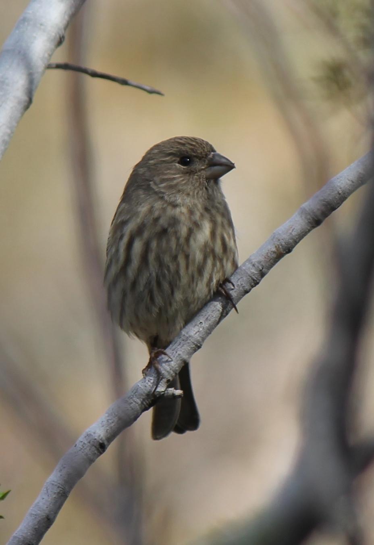 Wild Birds Images House Sparrow Wild-birds