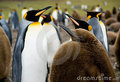 Penguins - penguins photo