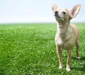 All Small Dogs wallpaper with a chihuahua called Small and Cute <3