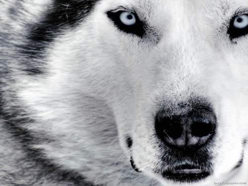 Beautiful Siberian Husky <3