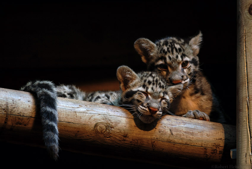 clouded leopards images clouded leopard cubs hd wallpaper and