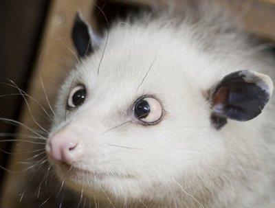Cross-Eyed opossum