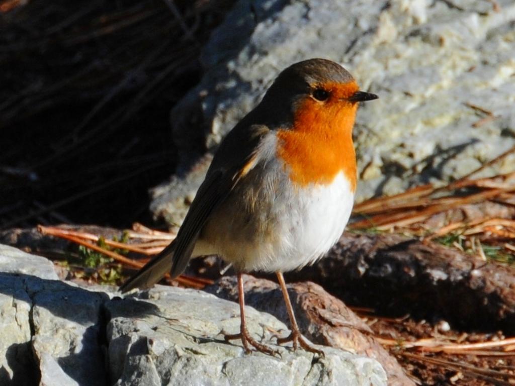 http://images4.fanpop.com/image/photos/18400000/Robin-bird-18477715-1024-768.jpg