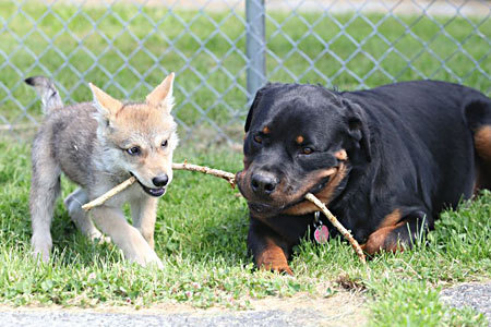 rottweiler adopts abandoned 8 week old serigala, wolf baby