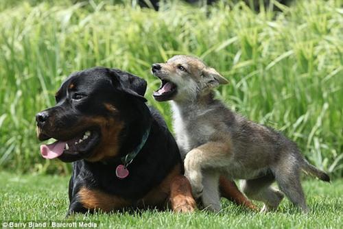rottweiler کا, روٹویلر adopts abandoned 8 week old بھیڑیا baby