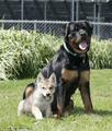 Rottweiler adopts abandoned 8 week old wolf baby  - teddybear64 photo