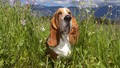 dogs - basset hound wallpaper