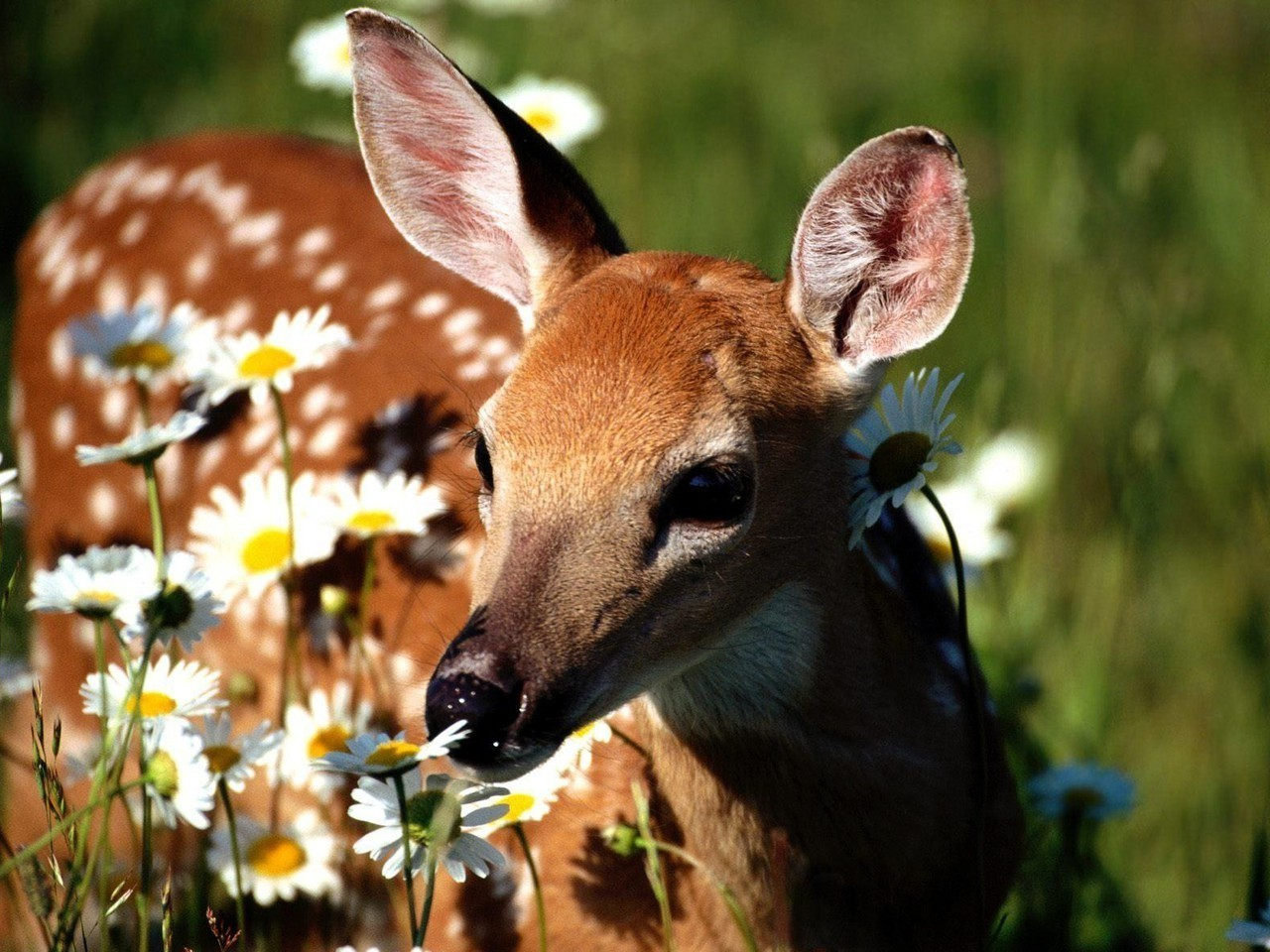 Flora and Fauna images A Doe, A Deer HD wallpaper and ...