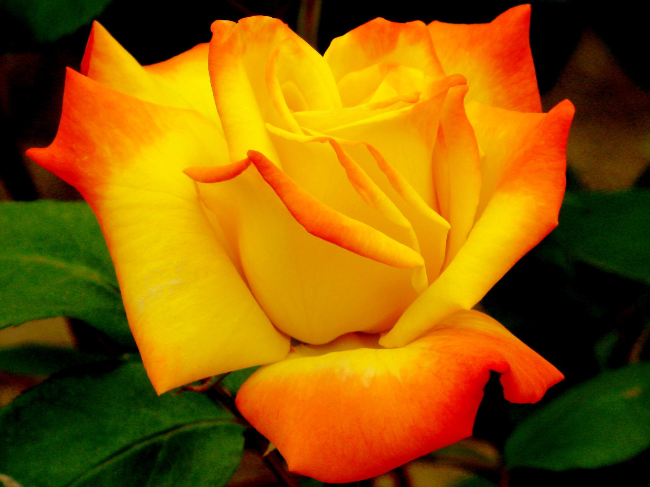 http://images4.fanpop.com/image/photos/18500000/Beautiful-Color-roses-18577529-1280-960.jpg