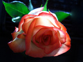 Beautiful Color - roses wallpaper