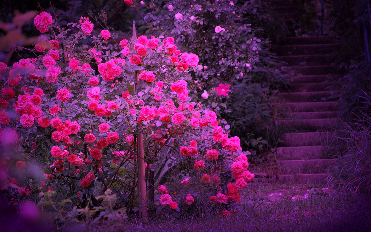 Beautiful Photos Beautiful Color roses