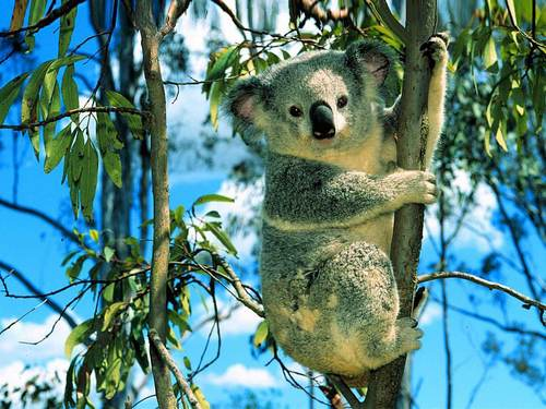 Cute Cuddly Koala