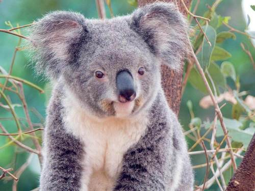 Cute Cuddly Koala