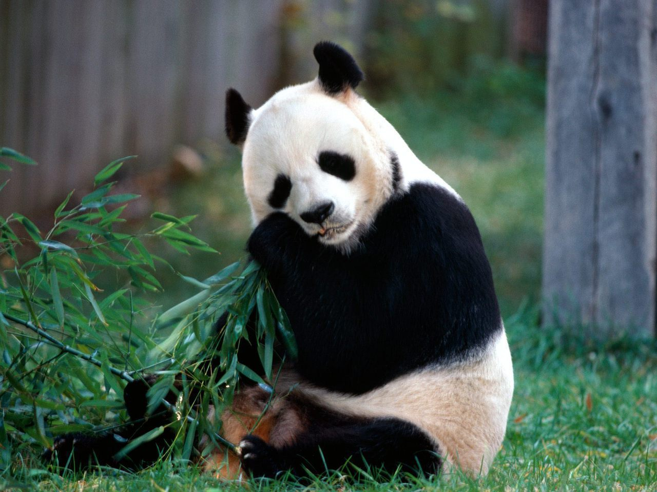 Save The Panda Bears!