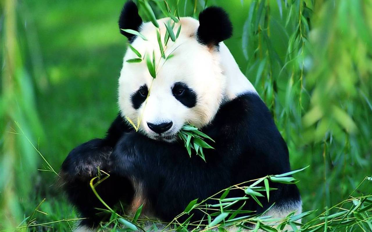 Flora and Fauna Save The Panda Bears!