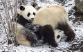 Save The Panda Bears! - flora-and-fauna wallpaper