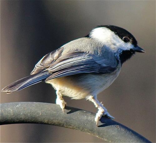 Gorgeous Carolina chim bạc má, chickadee, bạc